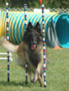 Breeder of Champion Belgian Shepherds